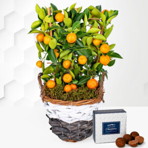 Citrus Tree - Mini Orange Tree - Mini Fruit Tree - Indoor Plants - Outdoor Plants - Plant Delivery - Plant Gifts