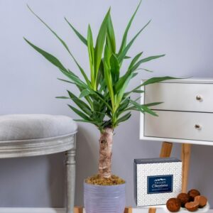 Yucca Plant - Indoor Plants - Plant Delivery - Houseplants - Home Plants - Send Plants - Plant Gifts